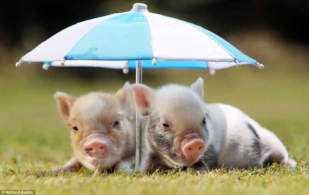 foto divertida de mini porco
