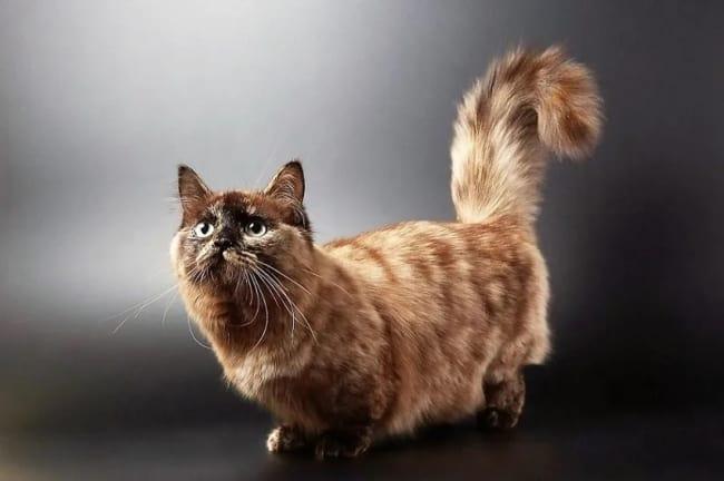 gato Munchkin de pelo longo