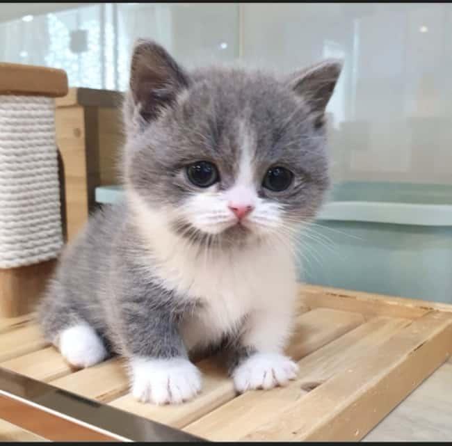 filhote de gato Munchkin branco e cinza