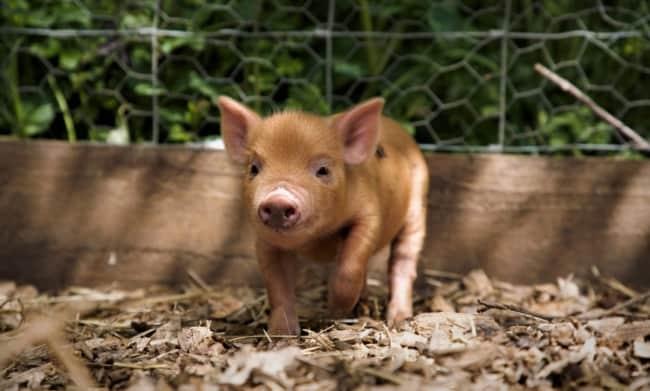 foto de mini porco