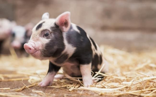 mini pig com manchas pretas