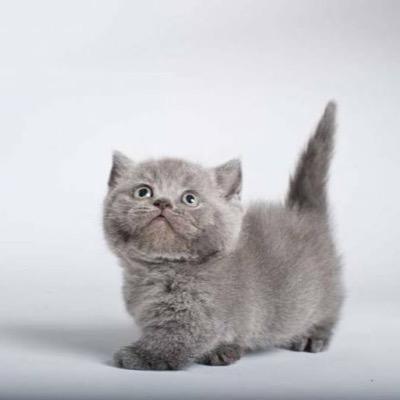 filhote de gato Munchkin