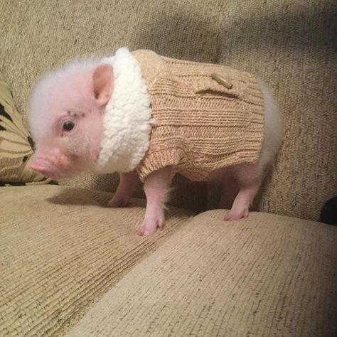 mini porco com roupinha