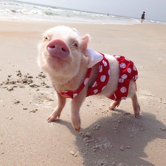 foto de mini porca