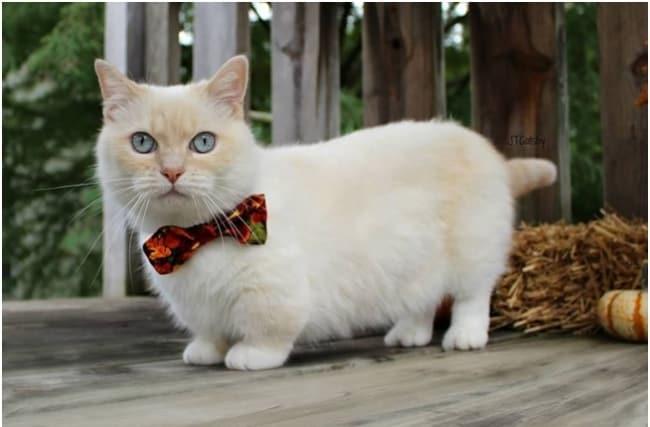 gato Munchkin de gravata