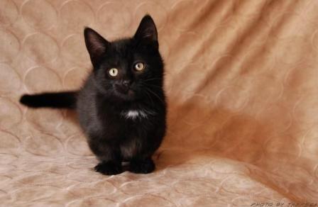 gato munchkin de pelagem preta