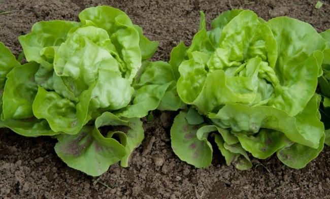 como plantar alface em horta