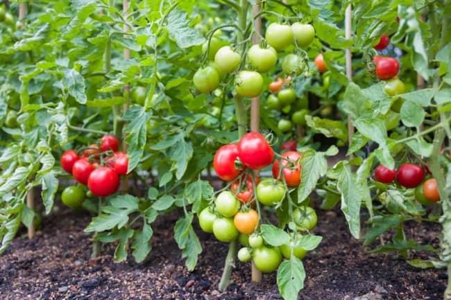 2 passo a passo para plantar tomate no solo