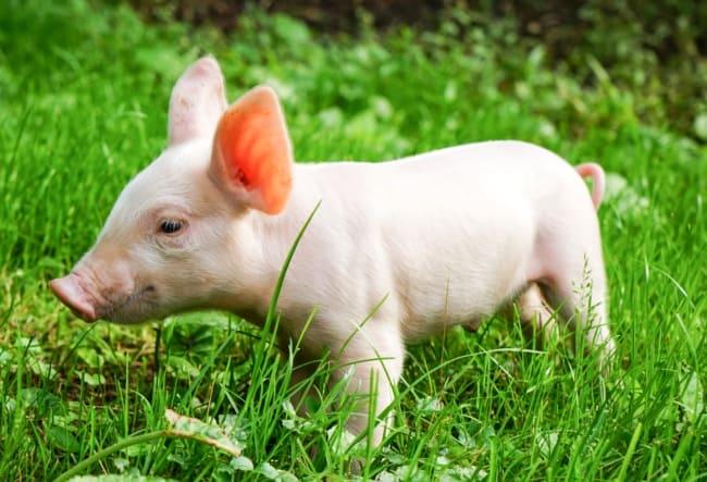 tamanho e peso de mini pig