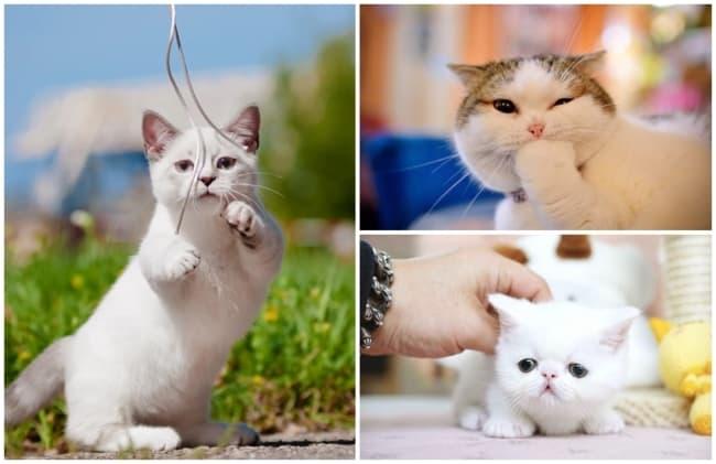 temperamento de gato Munchkin