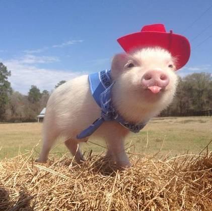 foto divertida de mini pig
