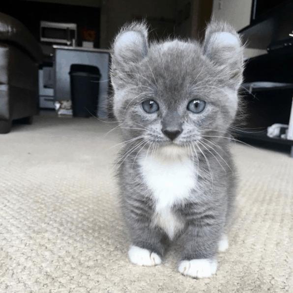 gato anao cinza