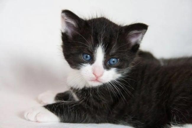 gato Munchkin de olho azul