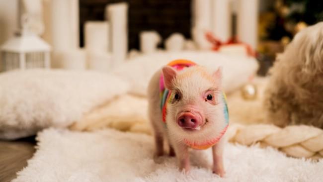 mini pig com roupa