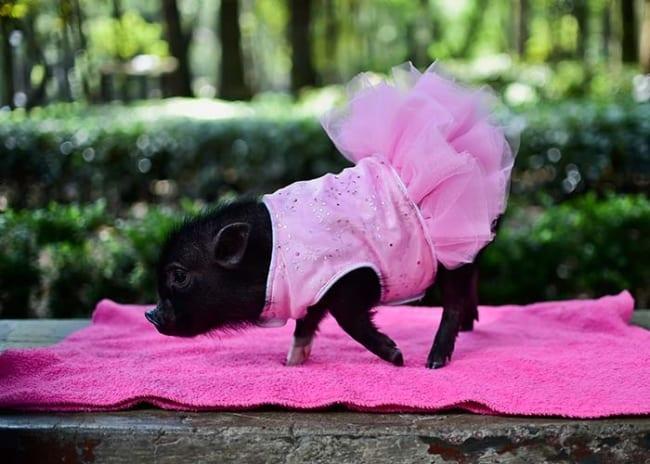 mini pig preto