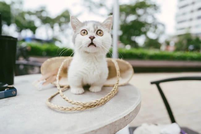 gato anao de olho cor de mel