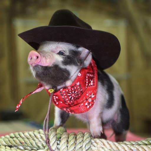 mini porco com chapeu