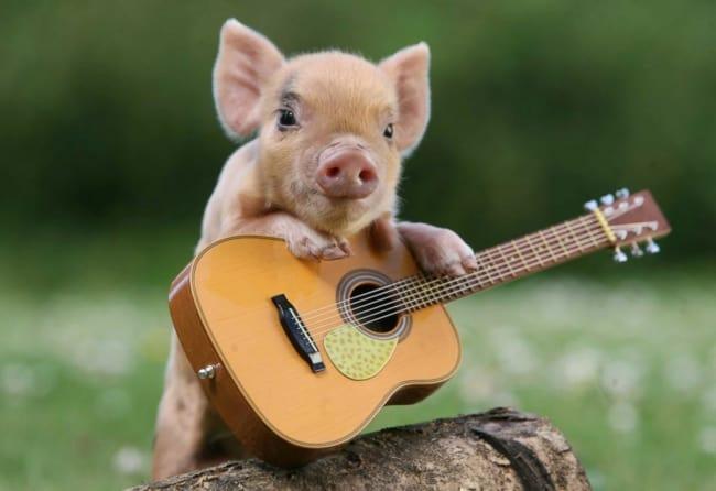 foto engracada de mini porco