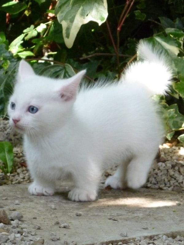 gato anao de pelo branco e olho azul