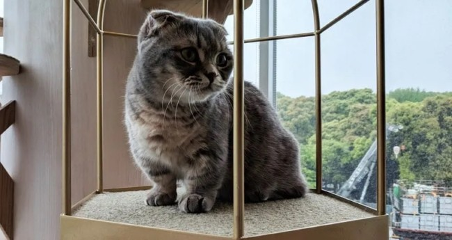 gato cinza de perna curta