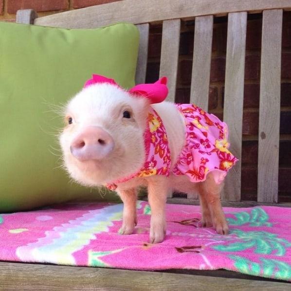 instagram de mini pig