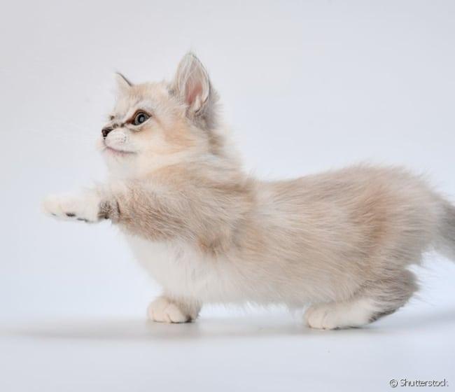 gato anao de pelagem clara