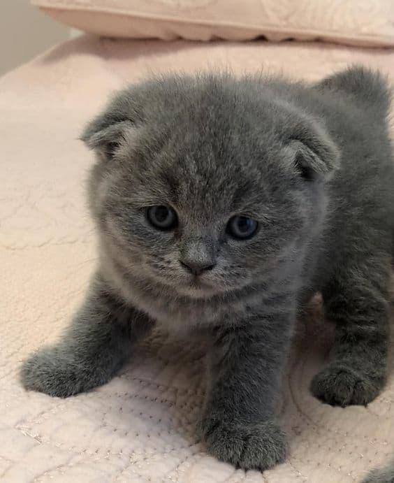filhotinho de gato anao cinza