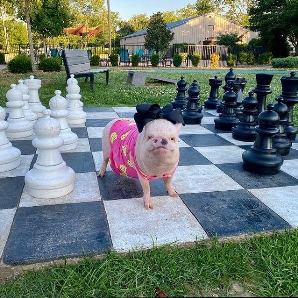 fotos de mini pig no instagram