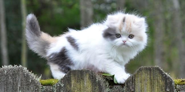 gato anao com pelo longo