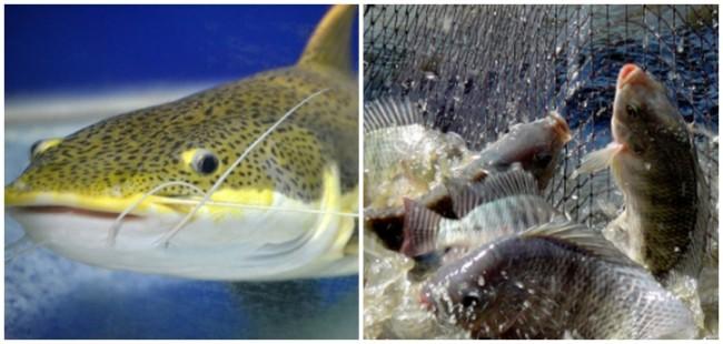 dicas e vantagens de piscicultura
