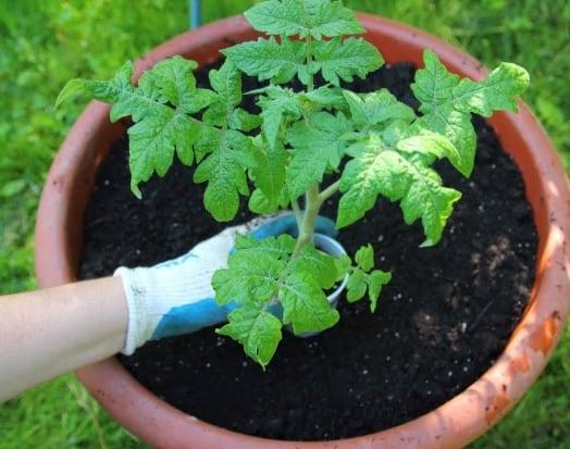 passo a passo para plantar tomate no vaso