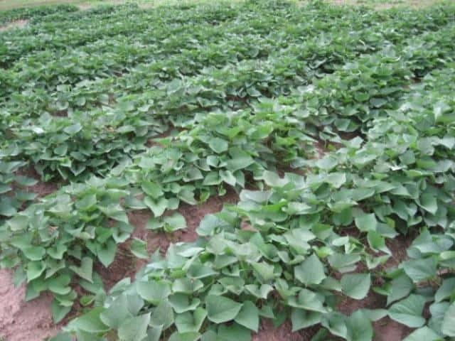 plantio de batata doce no solo
