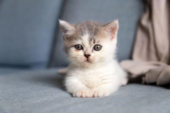 filhote de gato anao com olho verde