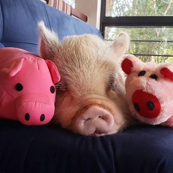 foto e perfil de mini pig