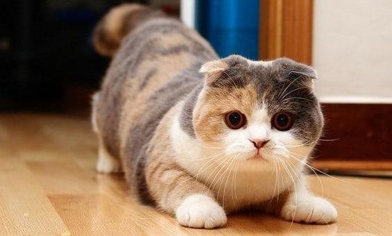 gato raca munchkin