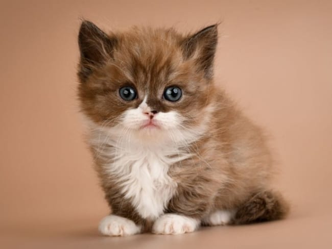 gato munchkin marrom e branco