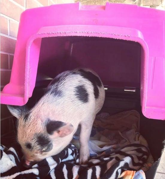 dica para mini pig