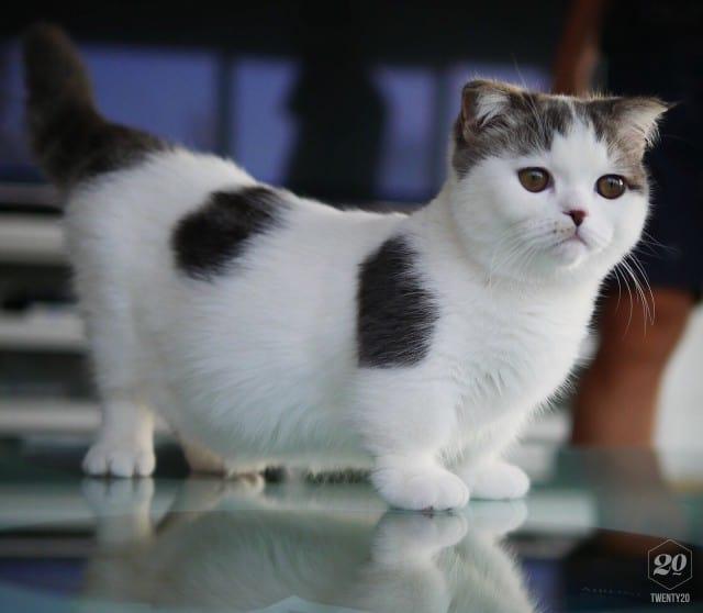 gato anao adulto