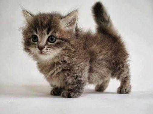 filhote de gato Munchkin marrom