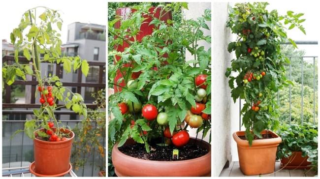 como plantar tomate em vaso