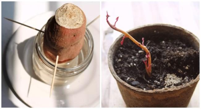 passo a passo de como plantar batata doce em vaso