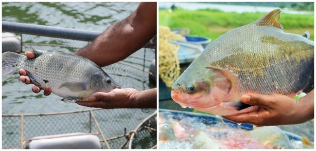 vantagem da criacao de peixes