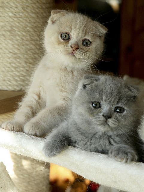 gatos de patas curtas