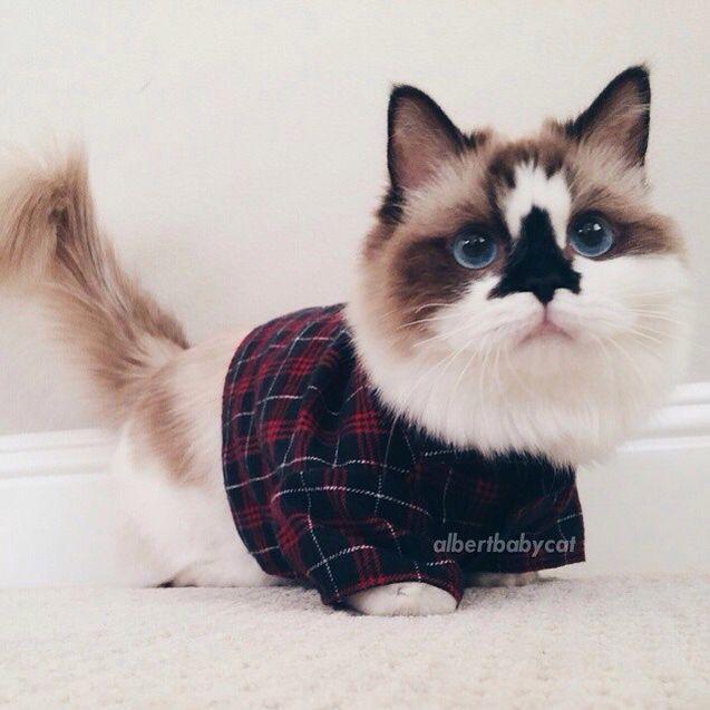 filhote de gato anao com roupinha
