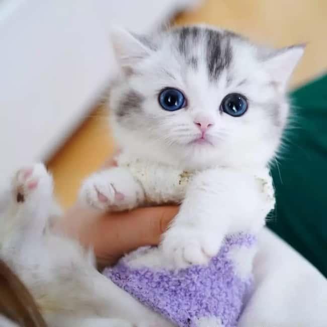 filhote de gato Munchkin com roupinha