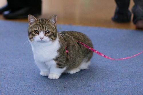 gato Munchkin com coleira