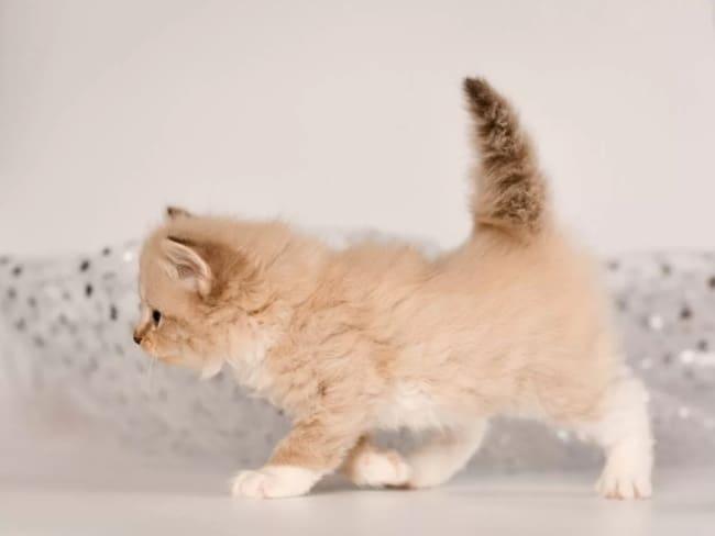 filhote de gato anao