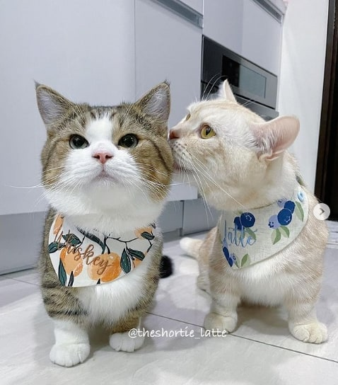 instagram de gatos Munchkin