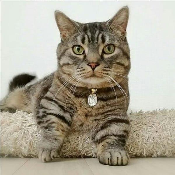 instagram de gato anao