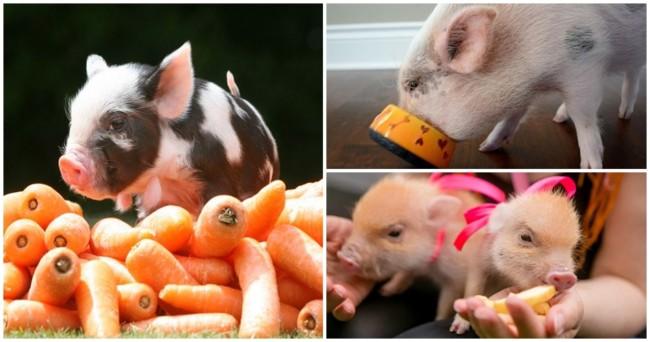 cuidados com alimentacao de mini porco
